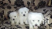 Maltese Male Puppies   Dogs & Puppies for sale in Greater Accra, Teshie-Nungua Estates