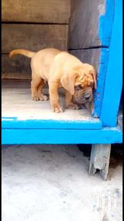 Pedigree Male Bull Mastiff Puppy Brown | Dogs & Puppies for sale in Greater Accra, Airport Residential Area