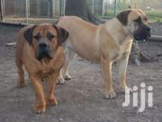6months Boerboel Fr Sale | Dogs & Puppies for sale in Greater Accra, Kwashieman