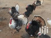 Heritage Turkeys (Local) Very Cheap | Livestock & Poultry for sale in Central Region, Cape Coast Metropolitan