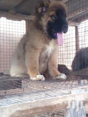 Caussasion | Dogs & Puppies for sale in Greater Accra, Adenta Municipal