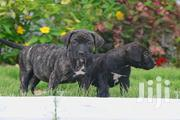 Purebred Boerboels | Dogs & Puppies for sale in Greater Accra, Dansoman