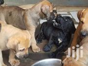 Boerboel Puppies For Sale | Dogs & Puppies for sale in Greater Accra, Teshie-Nungua Estates