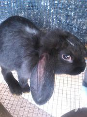 Healthy Live Rabbits For Sale | Other Animals for sale in Greater Accra, Adenta Municipal