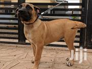 Healthy Boerboel For Sale | Dogs & Puppies for sale in Greater Accra, Tema Metropolitan