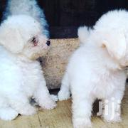 Baby Male Purebred Poodle | Dogs & Puppies for sale in Greater Accra, Osu