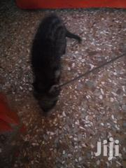 Civet Cats | Other Animals for sale in Ashanti, Mampong Municipal