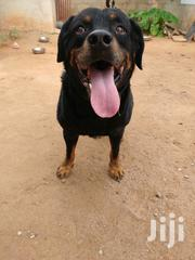Rottweiler For Crossing | Dogs & Puppies for sale in Greater Accra, Dansoman