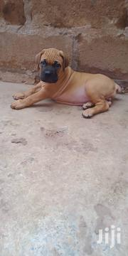 Pedigree Male And Female Boerbull Puppys Available Now | Dogs & Puppies for sale in Greater Accra, Adenta Municipal