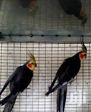 Cockatiel Bird | Birds for sale in Greater Accra, East Legon (Okponglo)
