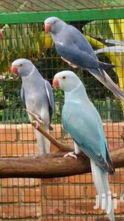 Parrots in East Legon (Okponglo) for sale▷ Buy and sell