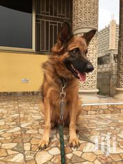 German Shepherd Adult Male Straight Back | Dogs & Puppies for sale in Greater Accra, Teshie-Nungua Estates