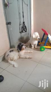 Young Female Purebred Poodle | Dogs & Puppies for sale in Greater Accra, Kwashieman
