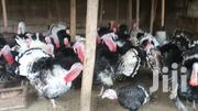 All Types Of Ages Of Turkeys For Sale Across The Country | Livestock & Poultry for sale in Ashanti, Kumasi Metropolitan