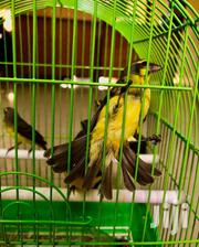 Beautiful Canary Bird | Birds for sale in Greater Accra, Dansoman