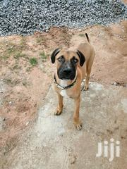 Male Boerboel For Crossing | Dogs & Puppies for sale in Central Region, Awutu-Senya