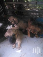Young Female Mixed Breed Boerboel | Dogs & Puppies for sale in Greater Accra, Adenta Municipal