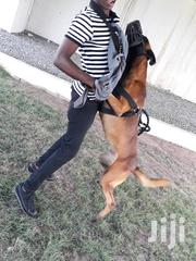 Adult Male Purebred Belgian Malinois | Dogs & Puppies for sale in Greater Accra, Adenta Municipal