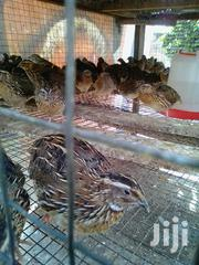 Quails Chicks | Livestock & Poultry for sale in Greater Accra, Abossey Okai