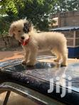 Adult Male Purebred Poodle   Dogs & Puppies for sale in Adenta Municipal, Greater Accra, Ghana
