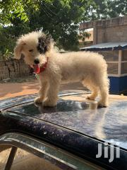 Adult Male Purebred Poodle | Dogs & Puppies for sale in Greater Accra, Adenta Municipal