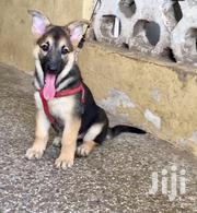 German Sherphed Puppies | Dogs & Puppies for sale in Greater Accra, Old Dansoman