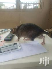 A Rat For Sale At Low Cost   Other Animals for sale in Greater Accra, Achimota