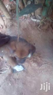 Puppies | Dogs & Puppies for sale in Greater Accra, Agbogbloshie