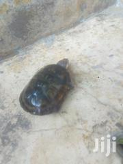 Lief Tortiose For Sell   Other Animals for sale in Ashanti, Offinso Municipal