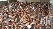 12 Week Old Layers For Sale | Livestock & Poultry for sale in Greater Accra, Accra Metropolitan