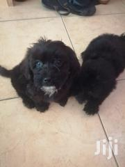 Poodle Puppies   Dogs & Puppies for sale in Greater Accra, Osu