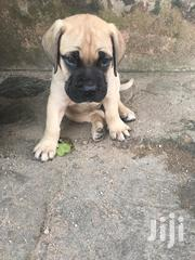 Bull Mastiff | Dogs & Puppies for sale in Greater Accra, Achimota