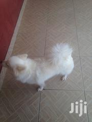 Japanese Spitz for Sale | Dogs & Puppies for sale in Greater Accra, East Legon