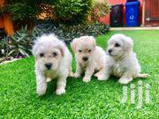 Maltese Puppies | Dogs & Puppies for sale in Greater Accra, Tema Metropolitan