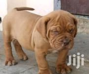 French Mastiff Puppy For Sale | Dogs & Puppies for sale in Ashanti, Kumasi Metropolitan