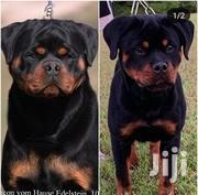Rottweiler Puppies | Dogs & Puppies for sale in Greater Accra, East Legon (Okponglo)