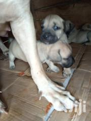 American Bulldogs Puppies | Dogs & Puppies for sale in Greater Accra, Adenta Municipal