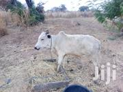 Strong | Other Animals for sale in Greater Accra, Agbogbloshie