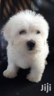 Maltese Male Puppies | Dogs & Puppies for sale in Greater Accra, Teshie new Town