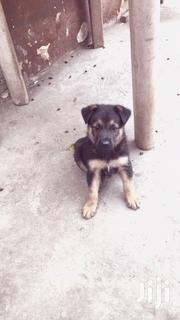 German Shepherd | Dogs & Puppies for sale in Greater Accra, North Kaneshie