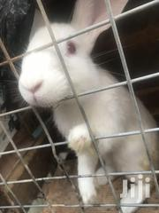 White Rabbit | Other Animals for sale in Greater Accra, Ga East Municipal