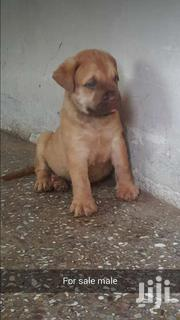 Foriegn Dogs Available | Dogs & Puppies for sale in Ashanti, Kumasi Metropolitan