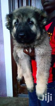 Female Caucasian Shepherd | Dogs & Puppies for sale in Greater Accra, Achimota