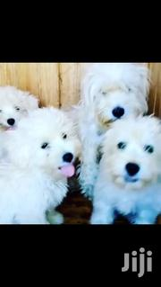 Maltese Pups | Dogs & Puppies for sale in Greater Accra, East Legon