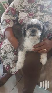 Shih Tzu Puppies | Dogs & Puppies for sale in Greater Accra, East Legon