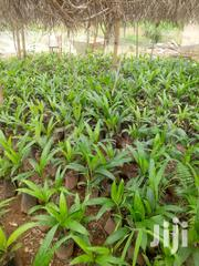 Oil Palm Seedlings | Feeds, Supplements & Seeds for sale in Central Region, Assin North Municipal