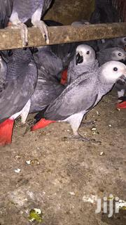 African Grey Parrot | Birds for sale in Greater Accra, Dzorwulu