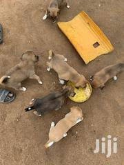 Nice Puppies | Dogs & Puppies for sale in Ashanti, Kwabre