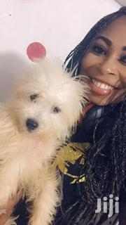 Maltese For Sale | Dogs & Puppies for sale in Greater Accra, East Legon