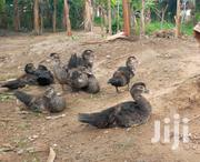 Giant Local Ducklings For Sale | Birds for sale in Ashanti, Adansi North